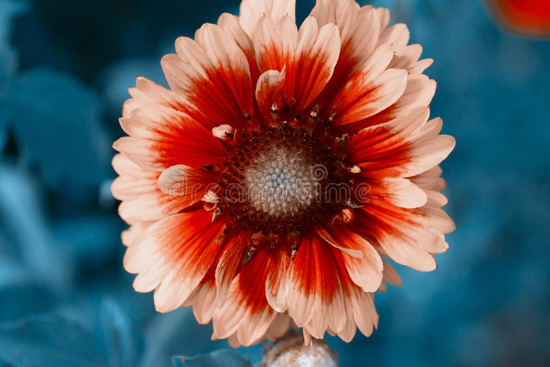 Flowerbackground gardenflowers Härlig cyan enkel blommacloseup Horisontalsommar blommar konstbakgrund arkivbilder