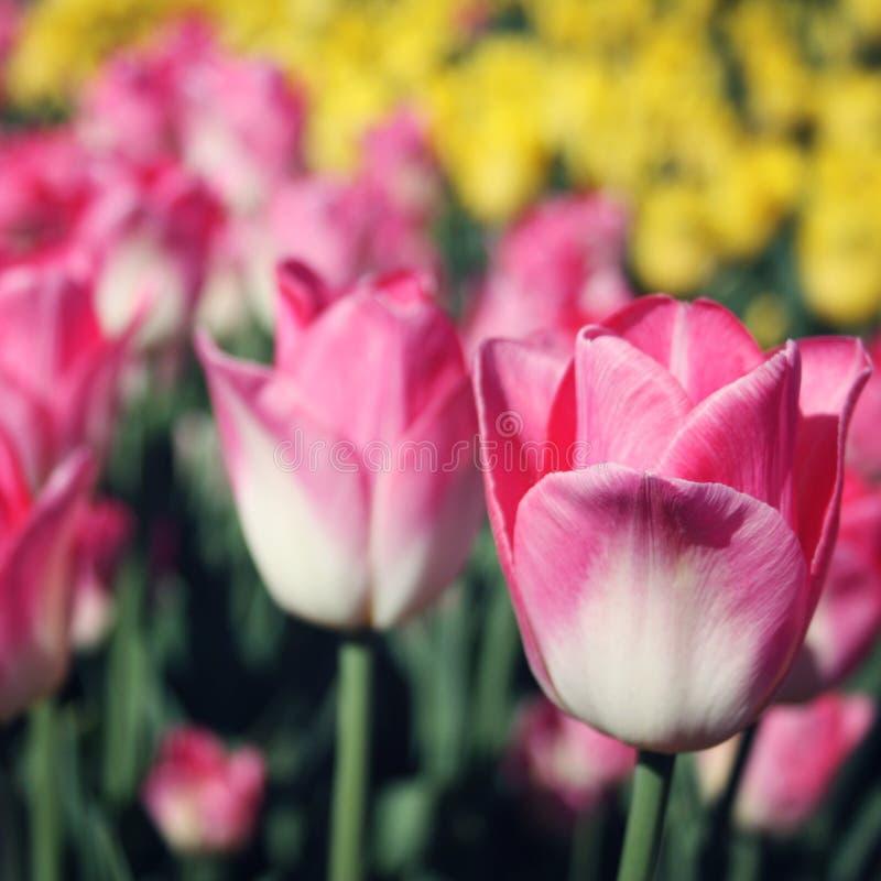 Flowerbad con los tulipanes rosados Efecto del vintage fotografía de archivo libre de regalías