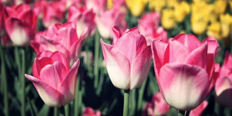 Flowerbad con los tulipanes rosados Efecto del vintage foto de archivo libre de regalías