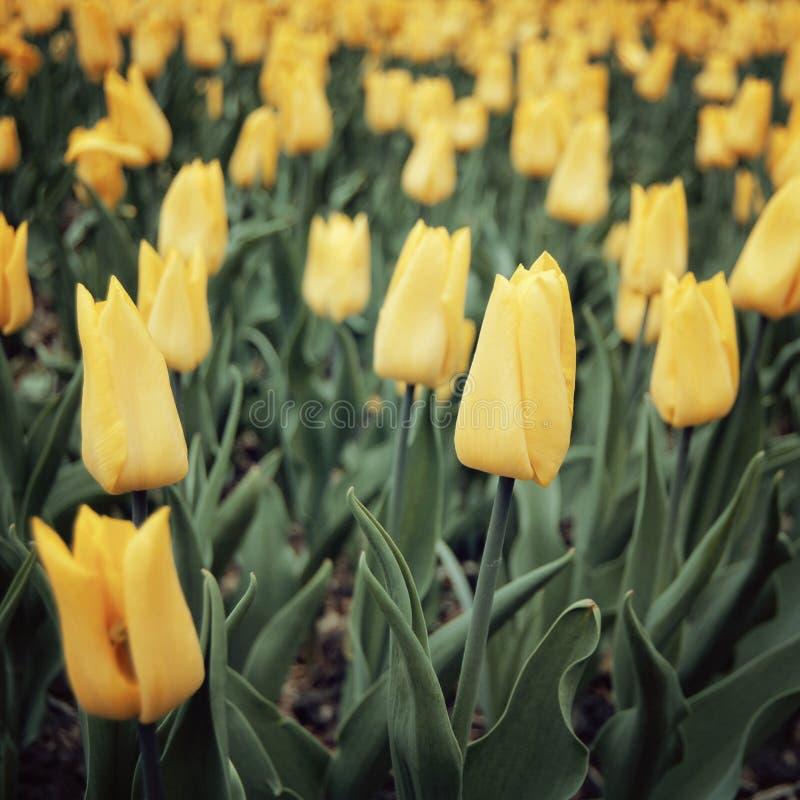 Flowerbad med tulpan - tappningeffekt Blom- bakgrund för vår - tonad bild arkivbilder