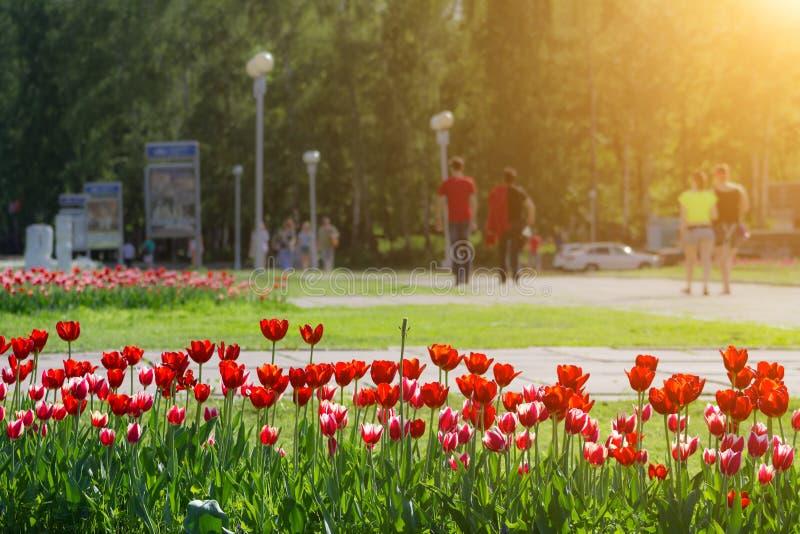 Flowerbed με τις κόκκινες τουλίπες στο θολωμένο υπόβαθρο του πάρκου πόλεων στοκ φωτογραφία