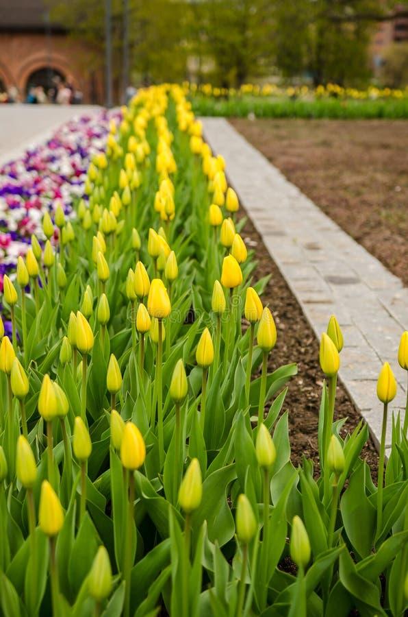 Flowerbed с желтыми тюльпанами стоковое изображение