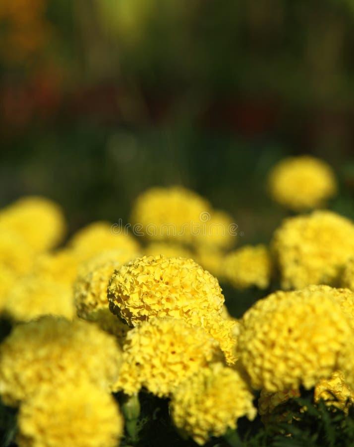 Flowerbed с желтыми яркими цветками стоковые фотографии rf