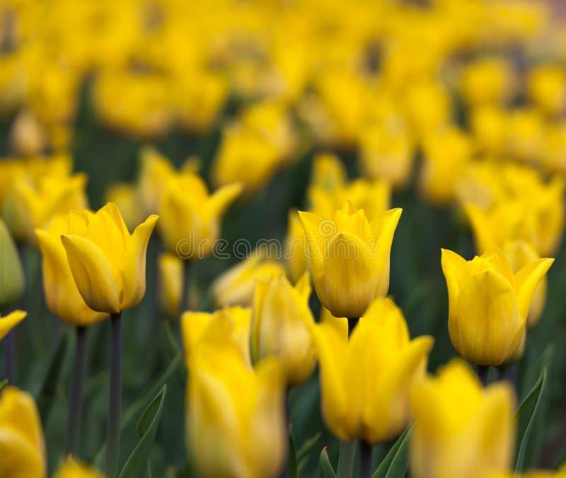Flowerbed с желтым цветом отпочковывается тюльпаны стоковое изображение