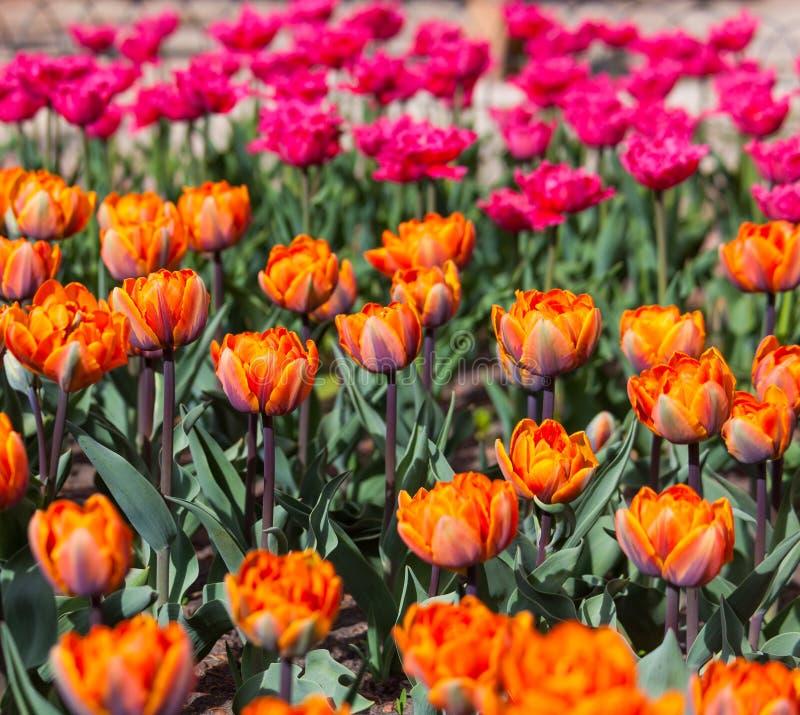 Flowerbed с красными и оранжевыми тюльпанами стоковое изображение rf