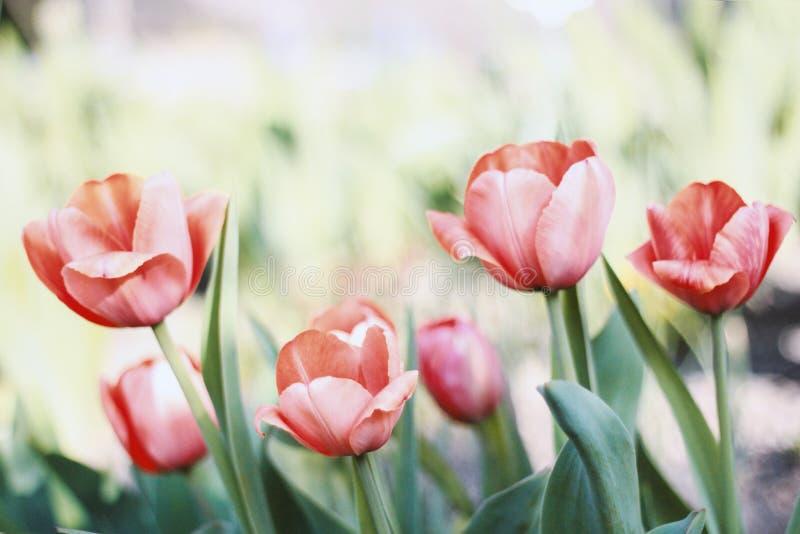 Flowerbed с красным цветом, шарлахом и розовыми тюльпанами на зеленой предпосылке, стоковые изображения