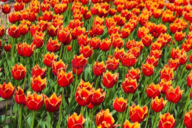 Flowerbed с много красных тюльпанов стоковые фотографии rf