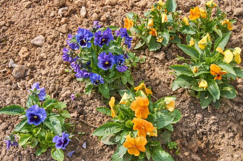 Flowerbed of blue and orange pancies in the garden royalty free stock image