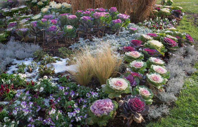 Flowerbed with cabbage and violas on a winter day. Flowerbed with multicolor cabbage and violas on a frosty winter day stock photo