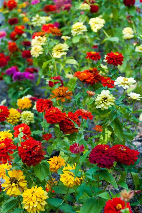 Flowerbed da dália imagem de stock