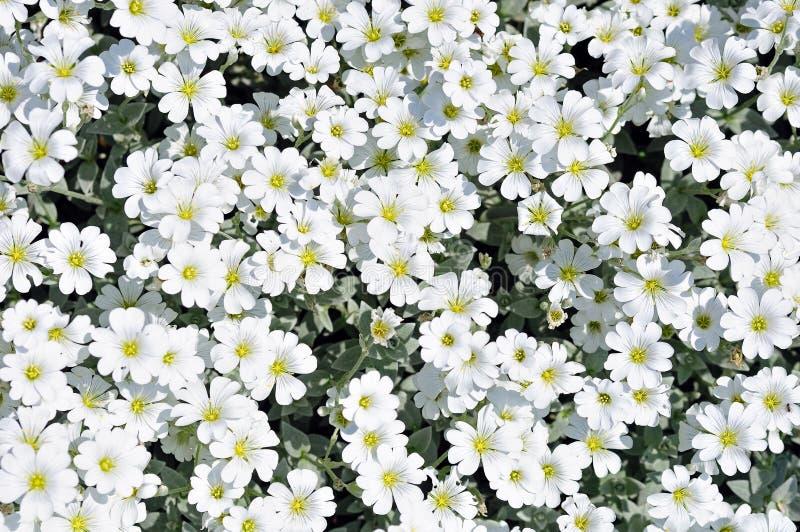Flowerbed das flores brancas do cravo-da-índia foto de stock royalty free