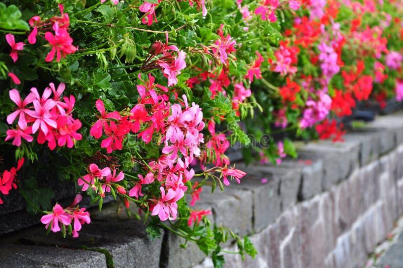 Flowerbed del pelargonium immagine stock