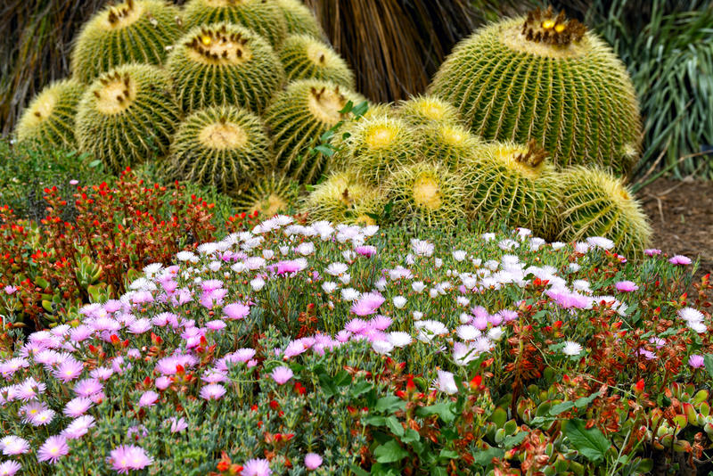 Flowerbed with Delosperma cooperi flowers stock photography