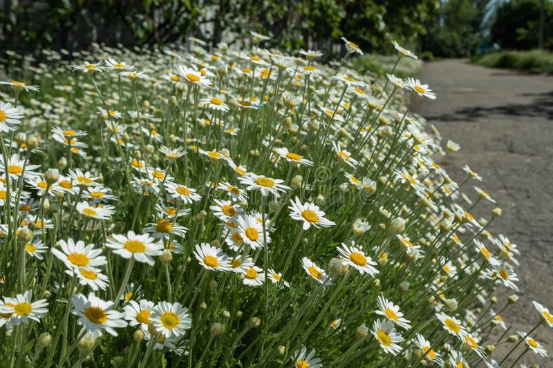 Flowerbed is densely planted with white daisies growing along the sidewalk of a private house in the countryside. Flowerbed is densely planted with white stock photo