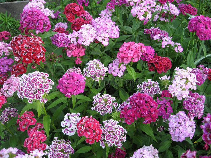Flowerbed of Dianthus barbatus. Color photo of flowers. Photo for backgrounds royalty free stock photography