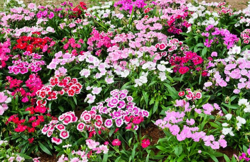 Flowerbed of Dianthus barbatus stock image