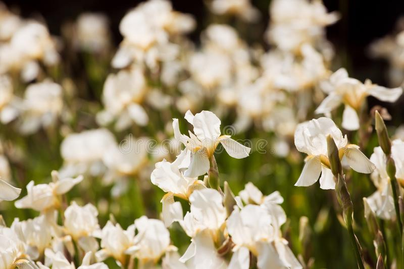 Flowerbed in a garden with tender pale yellow iris or fleur-de-lis blooming, summer morning sun backlight royalty free stock image