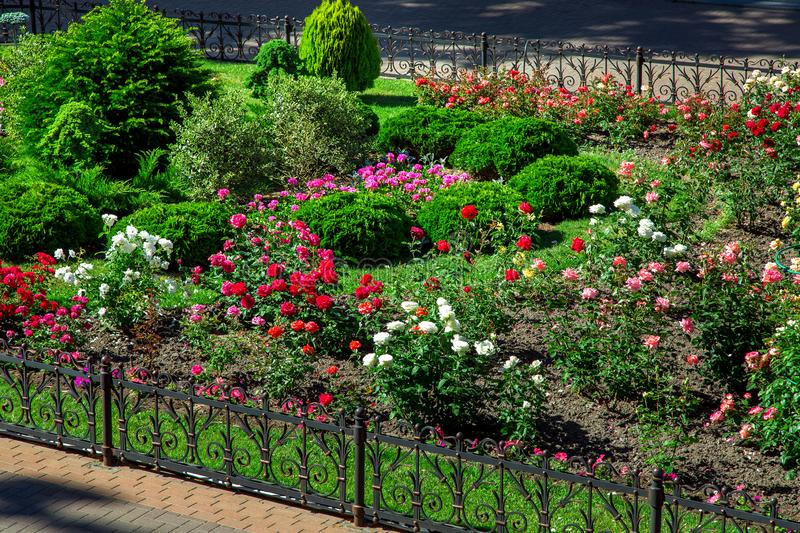 Flowerbed with landscaping bush roses with buds. stock images