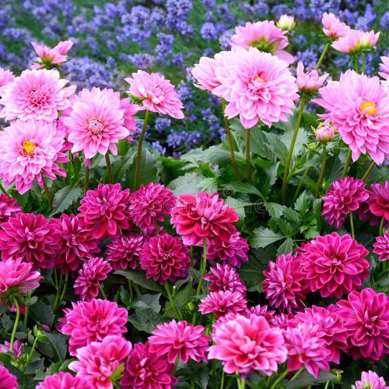 Pink dahlias and blue lavender in summer garden. Summer season with lots of flowering blooms in bright and intense pink stock photos