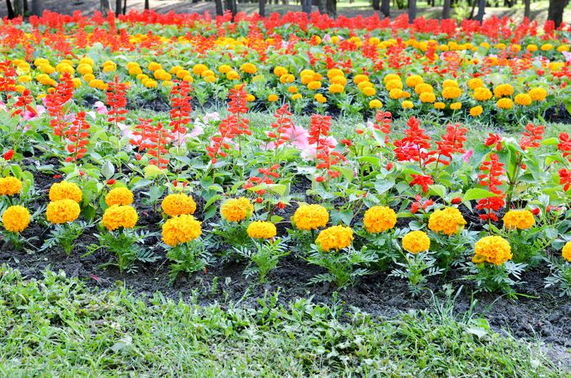 Flowerbed with multicoloured flowers: marigold and Salvia royalty free stock photos
