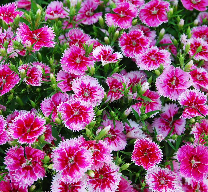 Free Flowerbed Of Dianthus Barbatus Royalty Free Stock Image - 25063876