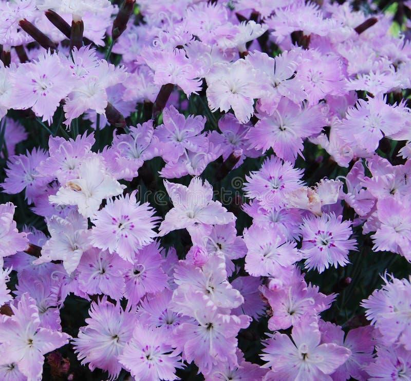 Free Flowerbed Of Dianthus Barbatus Royalty Free Stock Photo - 25242365
