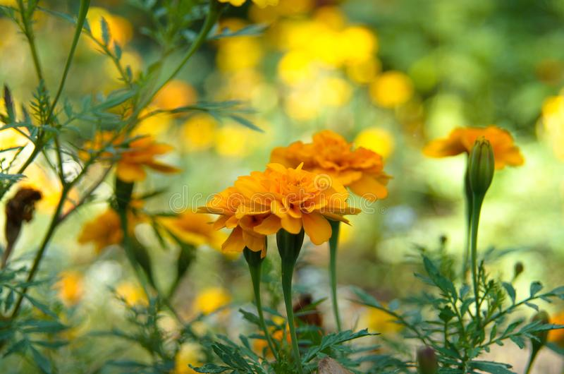 Flowerbed of orange marigold flowers. Autumn flower card royalty free stock image