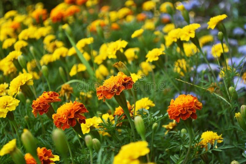 A flowerbed of orange marigolds blooming flowers. Beautiful in nature. A flowerbed of orange marigolds blooming flowers royalty free stock photo