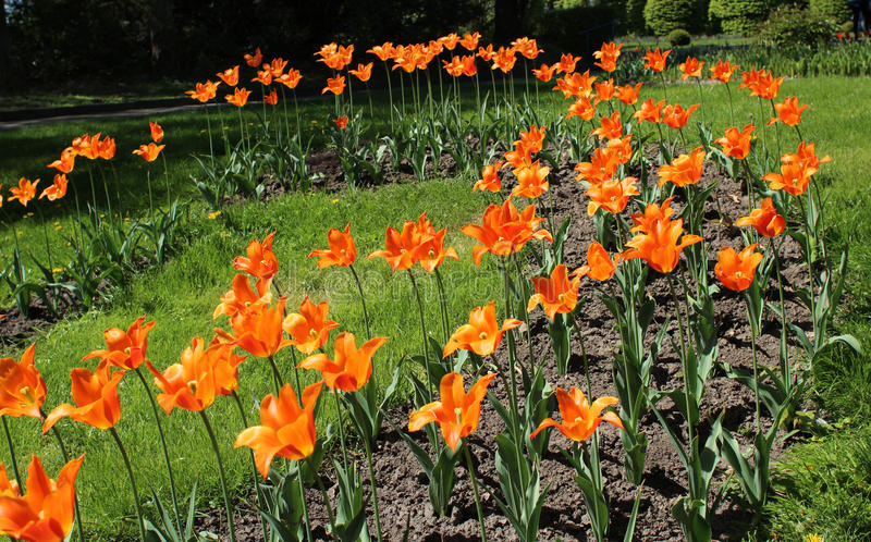 Flowerbed with orange tulips in the garden royalty free stock photos