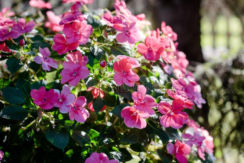 Flowerbed with pink flowers on summer or autumn day. Flowerbed with pink flowers on summer or autumn day royalty free stock photos