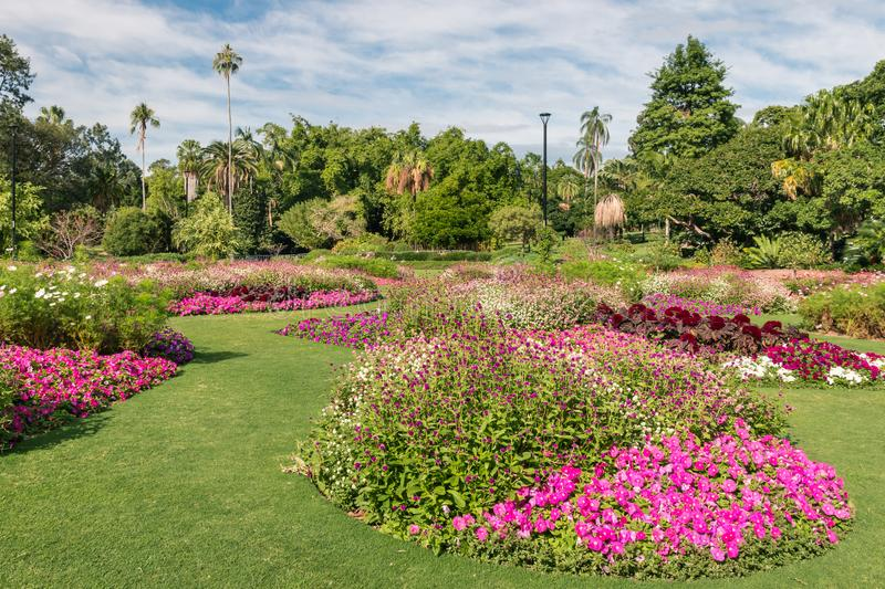 Flowerbed with pink petunias in City Botanic Gardens, Brisbane. Australia stock photography