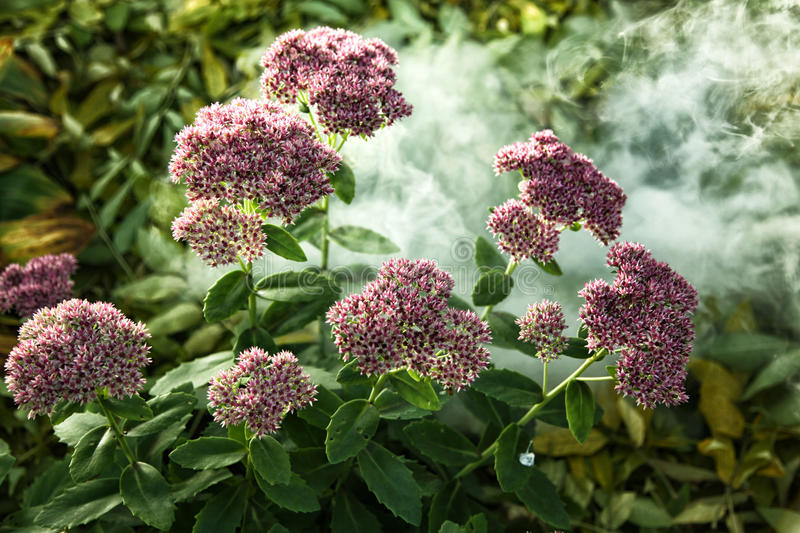 Flowerbed with pink stonecrop amid creeping smoke. Close up royalty free stock image