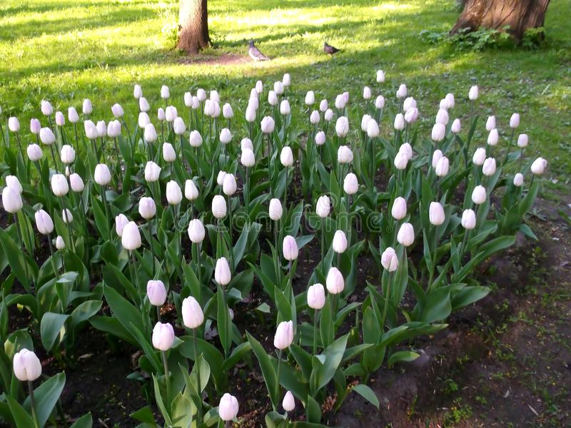 A flowerbed of tulips. Two birds between the trees in the background. stock photography