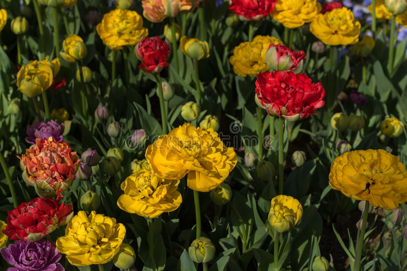 Flowerbed of tulips royalty free stock photo