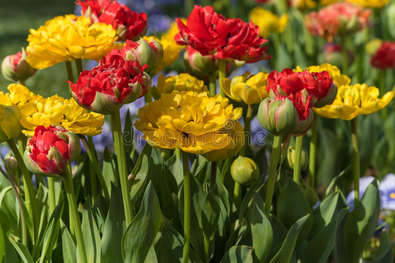 Flowerbed of tulips royalty free stock image