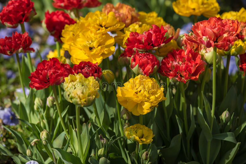 Flowerbed of tulips royalty free stock photos