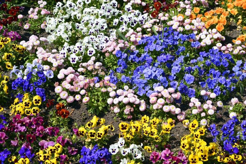 Flowerbed of violas. Background of flowerbed of multicolor violas royalty free stock photos