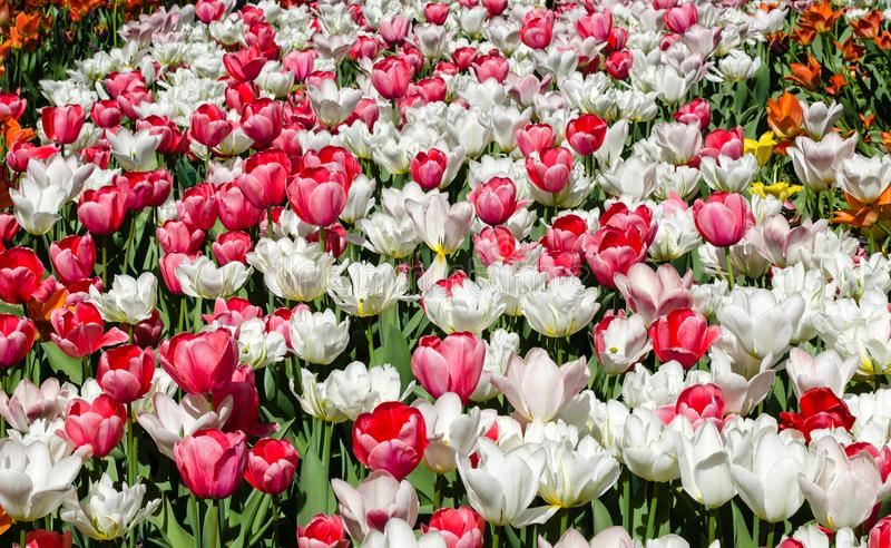 Flowerbed of white and pink tulips royalty free stock photography