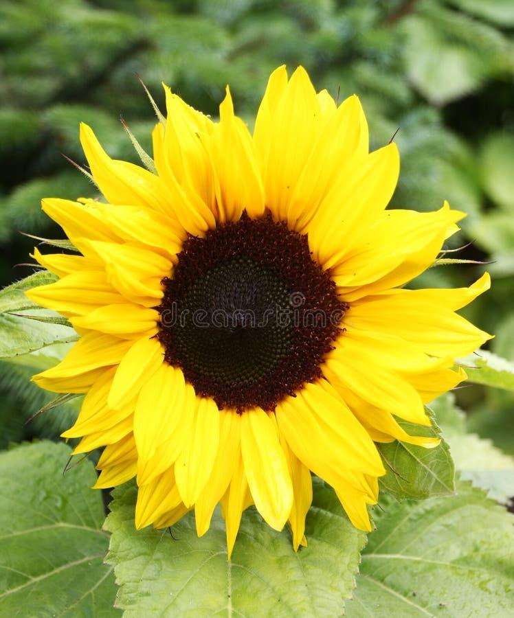 Flowerbud de tournesol images libres de droits