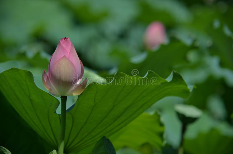 A flowerbud of lotus. Is just starting to blossom stock photo