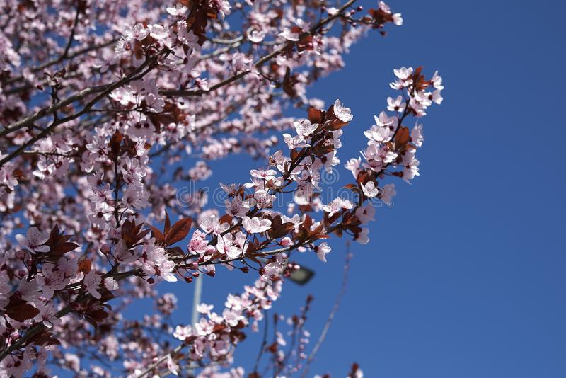 Prunus cerasifera nigra in bloom royalty free stock images