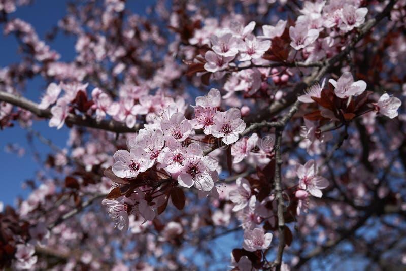 Prunus cerasifera nigra in bloom stock photo