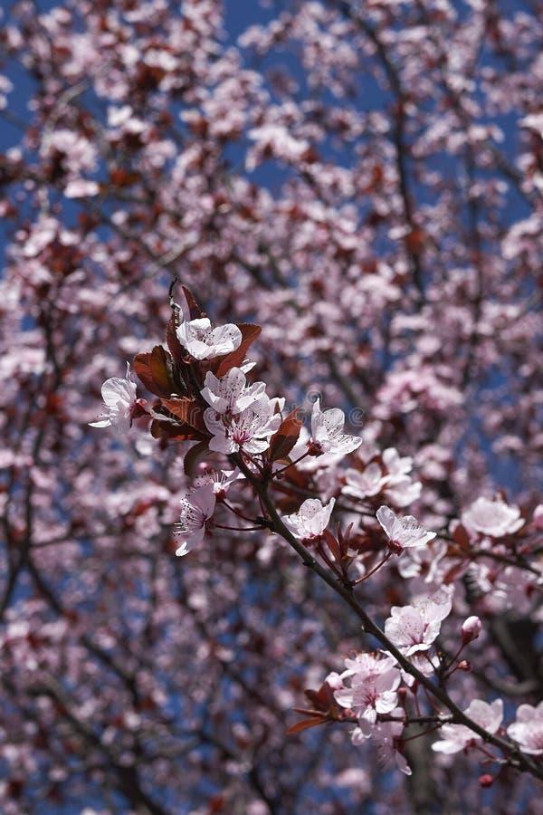 Prunus cerasifera nigra in bloom stock image