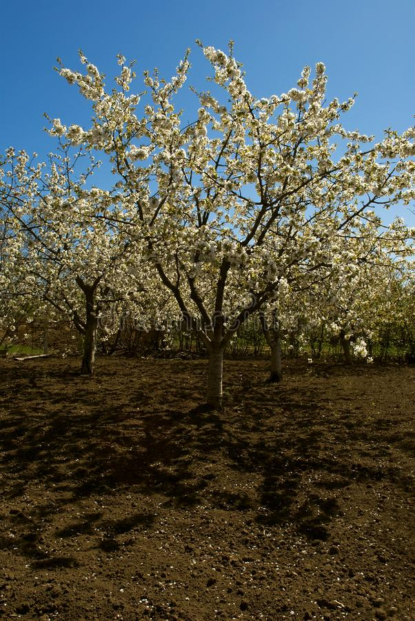 Download Flowered cherry tree stock image. Image of spring, garden - 15568283