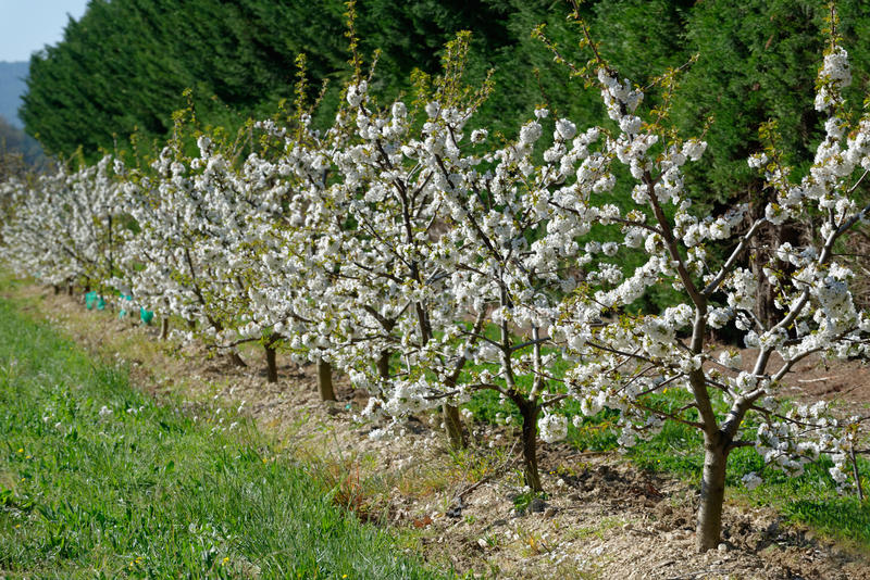 Flowered fruit trees. By a sunny springtime day stock photos