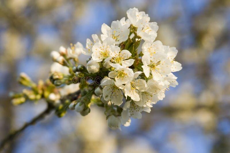 Flowered tree stock image