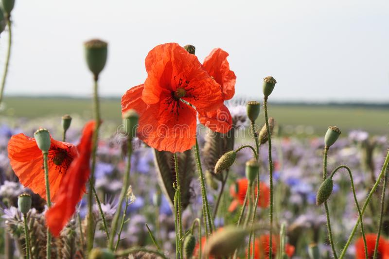 Flowerfield images stock