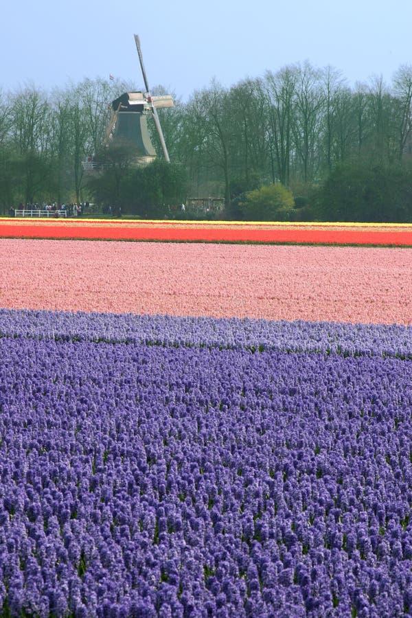 Flowerfield photo stock