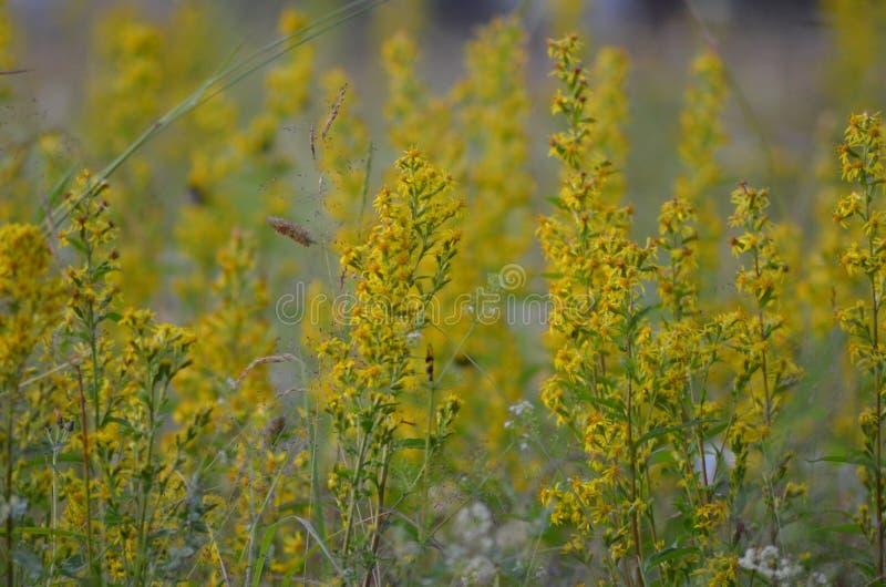 Flowerfield amarelo com zangão imagens de stock