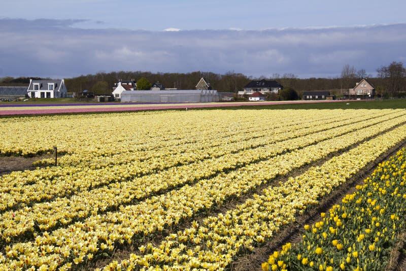 Flowerfield em Holland fotos de stock